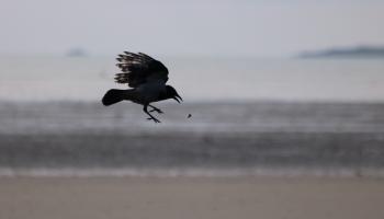 11. Crow_9657