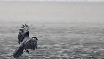 13. Crow_9685