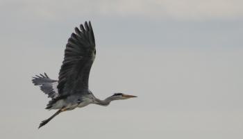 05. Grey Heron_0095