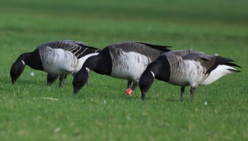 geese in a row-4999