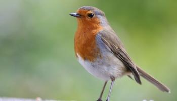 Robin-5964