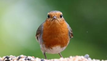 Robin-6612