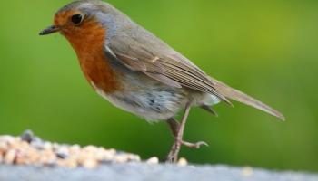 Robin-6626