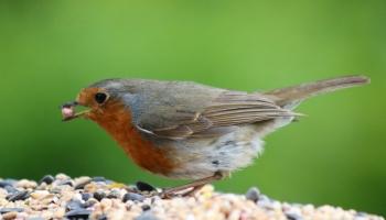 Robin-6628