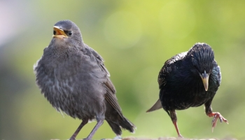 Starling baby and adult dance-3038