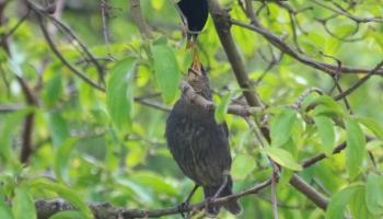 Starlings feeding-2514