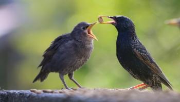 Starlings feeding-3032