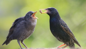 Starlings feeding dog food-3034