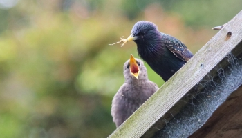 Starlings on shed rook-2604
