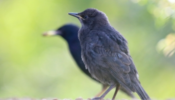 baby starling with shadow-2962